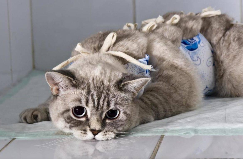 Кот после кастрации - реабилитация домашних условиях