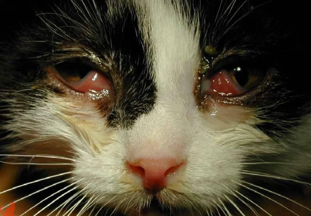 Хламидиоз у кошек: особенности заболевания, симптомы и лечение