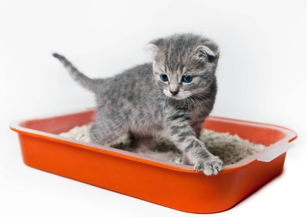 Как приучить взрослую кошку к лотку