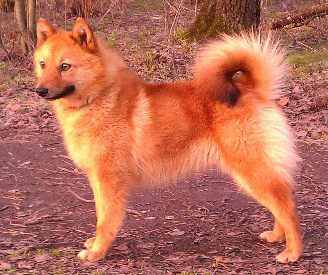 Карело-финская лайка: описание щенков и взрослых особей, характер собак