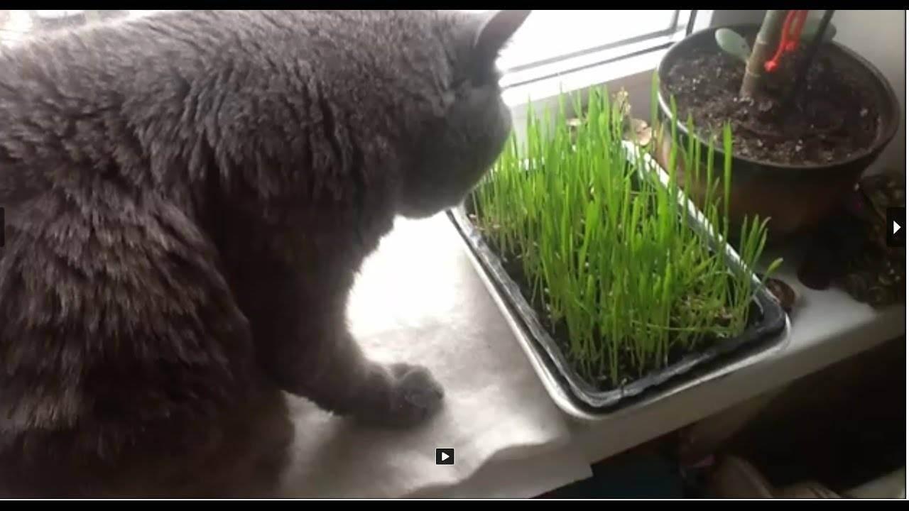 Как вырастить траву для кошек дома?