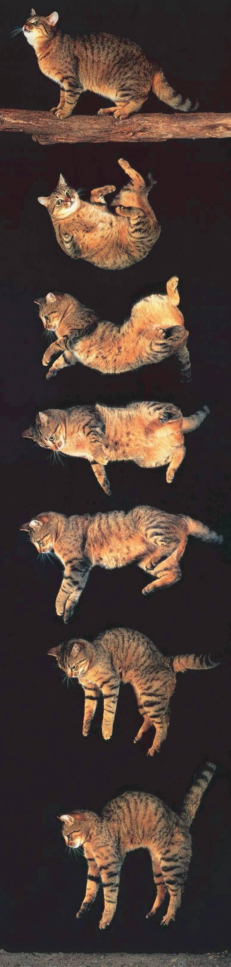 Почему кошки приземляются на 4 лапы. почему кошки всегда приземляются на лапы падая с высоты? чем опасна небольшая высота