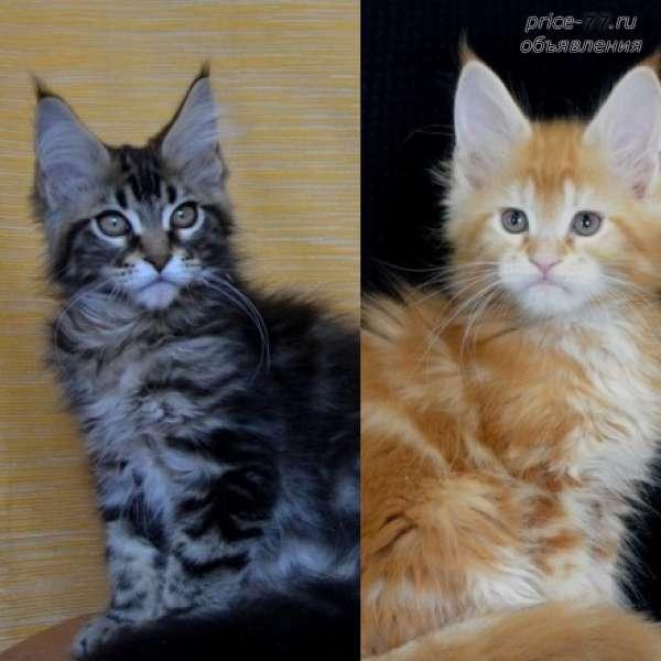 Мейн-кун полидакт: что это значит, преимущества и недостатки шестипалых котов