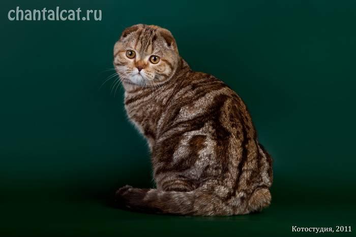 Черный вислоухий кот – генетика окраса, особенности ухода за шерстью, характер питомца