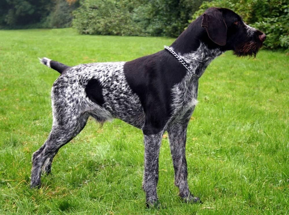 Охота с биглем: кого из животных и птиц можно выслеживать с собакой, натаскивают ли ее на зайца, утку, лису, а также качества породы и фото