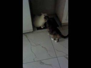 Почему есть нападение кошек на людей?