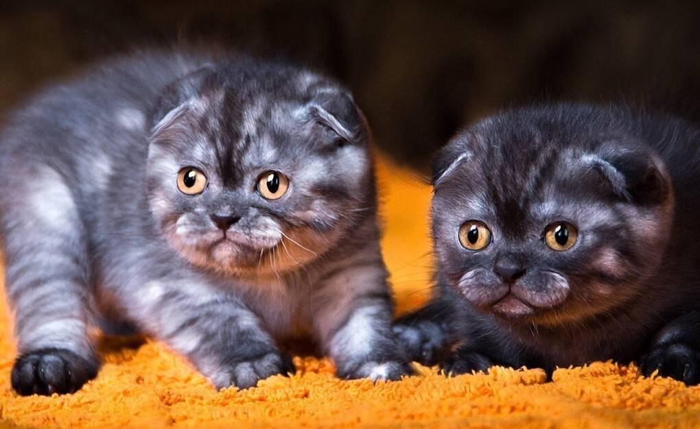 Имя для кошки-девочки шотландской вислоухой и клички для кота: редкие и красивые популярные
