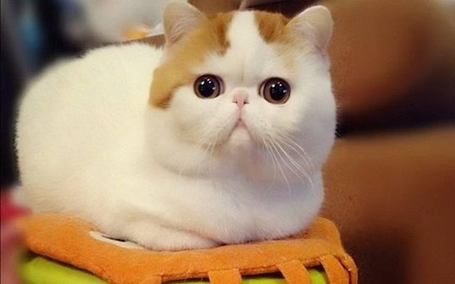 Породы кошек с большими глазами (31 фото): описание коротколапых породистых котов и других красивых пород. как выбрать котенка?
