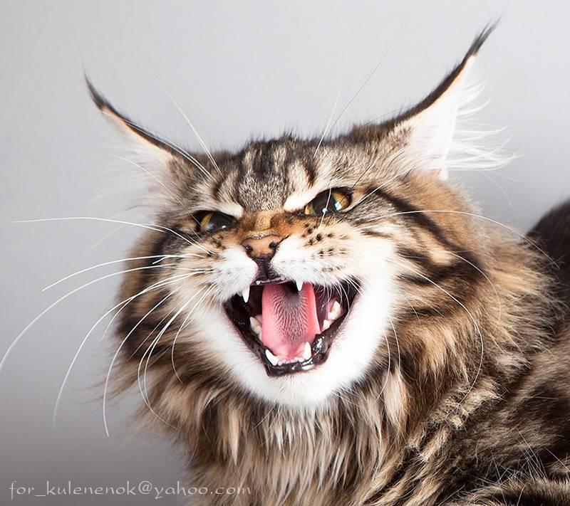 Когда меняются зубы у кошек и котов: в каком возрасте выпадают молочные у котят и сколько месяцев занимает смена