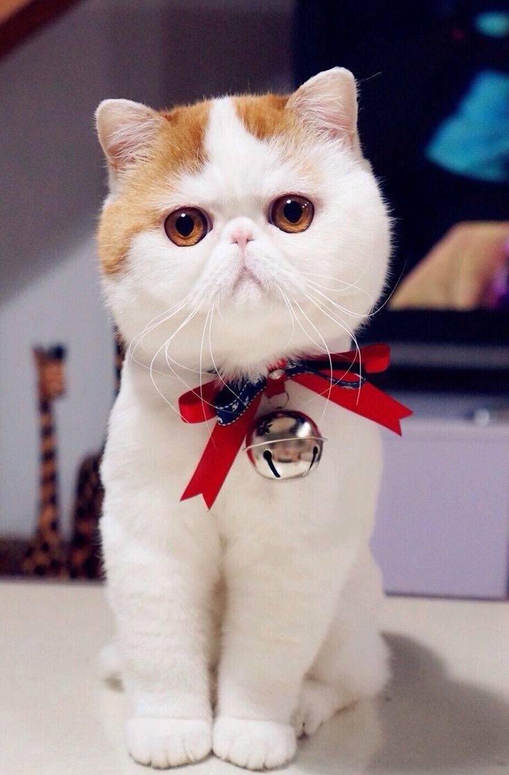 Кот с приплюснутой мордой и большими глазами — кошка с плоским лицом