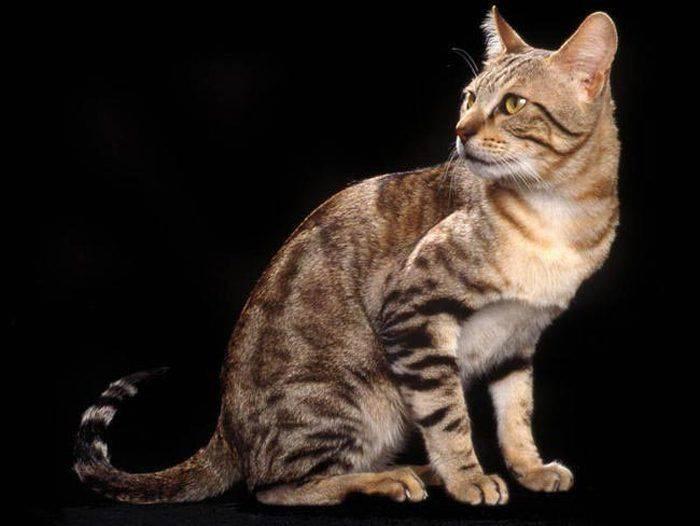 Соукок (кенийская лесная кошка) кошка: подробное описание, фото, купить, видео, цена, содержание дома