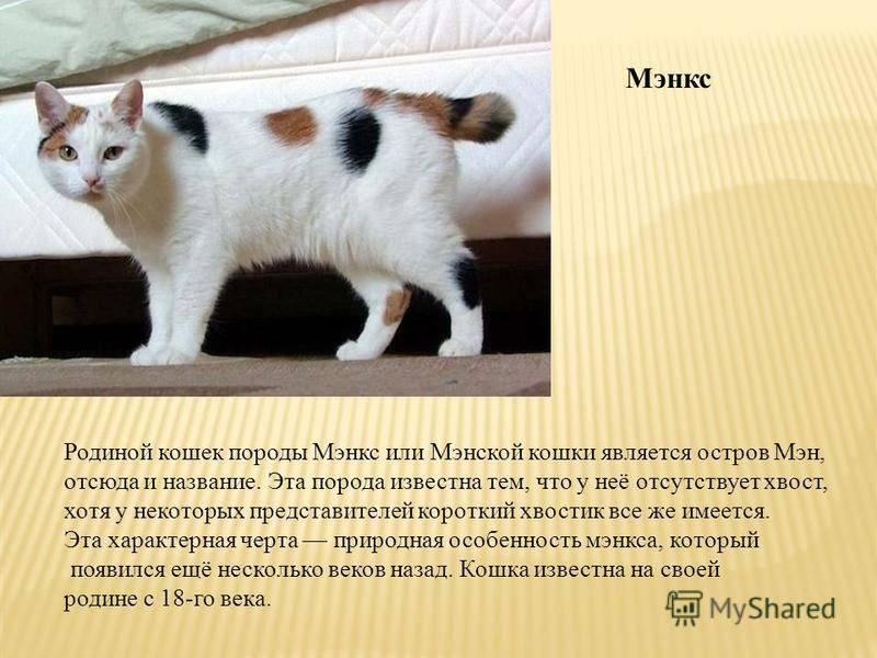 Мэнская кошка: описание породы мэнкс с фото, характер животного, особенности его содержания