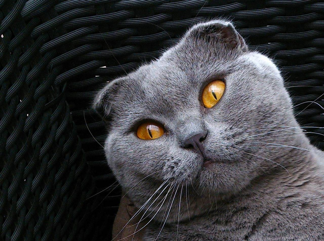 Кот британец вислоухий: характер, фото, содержание и уход