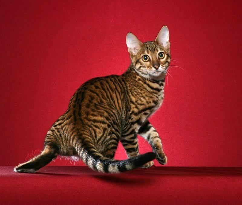 Топ-10 самых больших кошек в мире: породы, характеристики, интересные факты