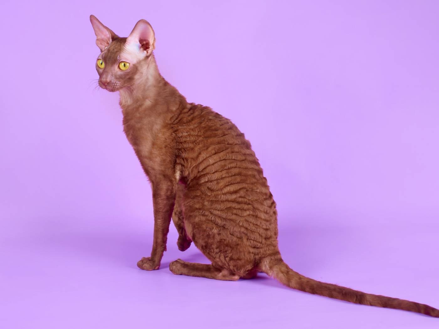Кошка уральский рекс — фото, описание и характер породы