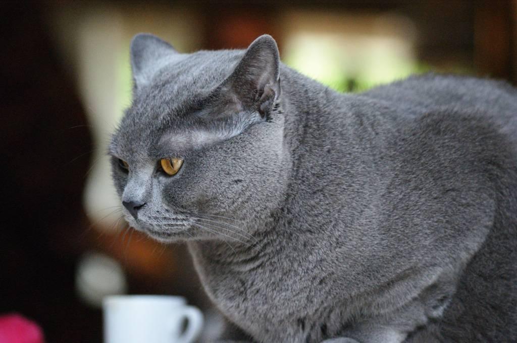 Картезианская кошка: цвет шерсти и характер шартреза, уход за питомцем и его содержание, выбор котёнка, отзывы владельцев, фото кота