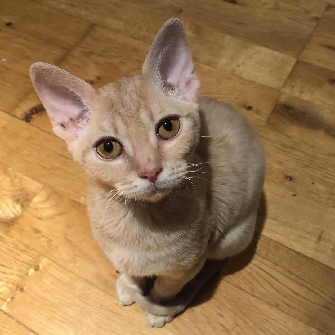 Немецкий рекс. описание породы и характера кошки