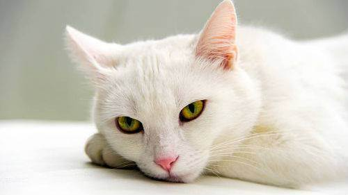 Сонник - кошка и к чему снятся кошки?