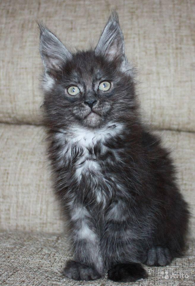 Кошка черный дым – представители каких пород имеют такой окрас?