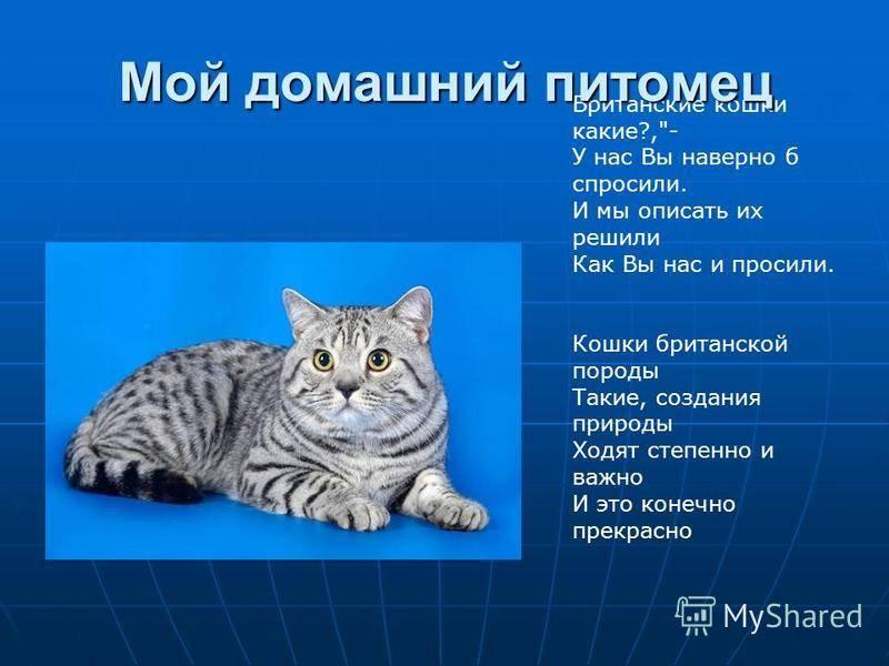 Как отличить британца от обычного котенка: внешние признаки и особенности поведения