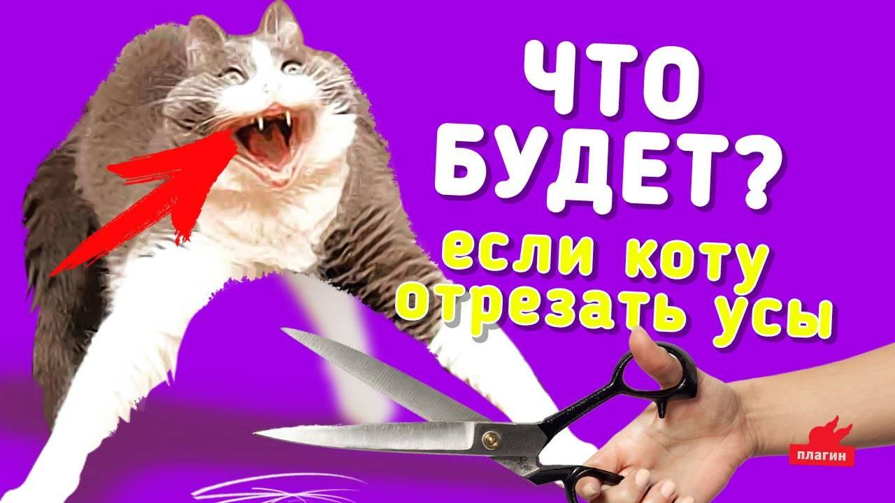 Варианты что случится с усами кота если их обрезать: отрастают ли они по новой