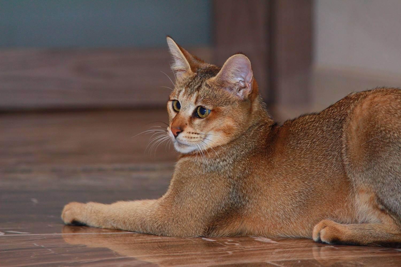 Самые популярные породы кошек в мире – список, характер, описание, фото и видео