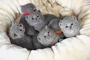 Средняя продолжительность жизни британских котов