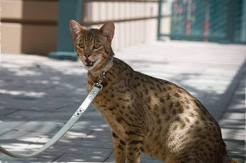 Самые большие кошки в мире – список, размеры, названия, где обитают, фото и видео