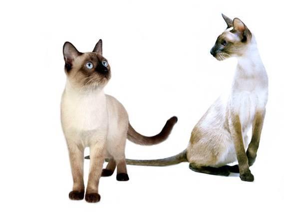 Сиамская кошка описание породы и характера, цены на котят и отзывы (+фото)