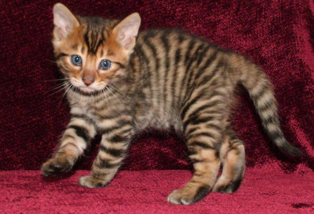 Тигровая кошка. описание, особенности, виды и цена тигровой кошки | животный мир