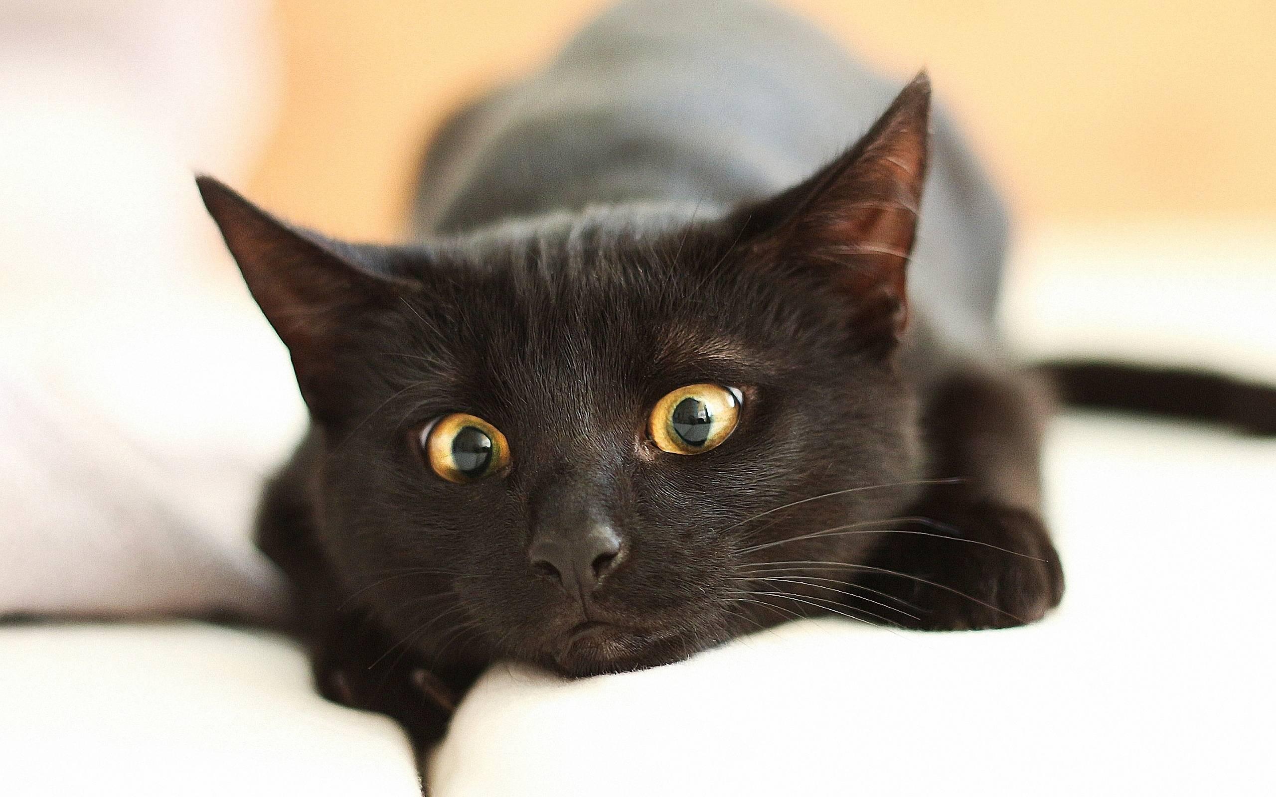 Интересные приметы о черных котах