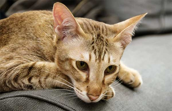 Блохи у кошек: внешний вид, причины появления, уничтожение