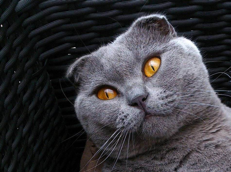 Как дрессировать котенка - wikihow