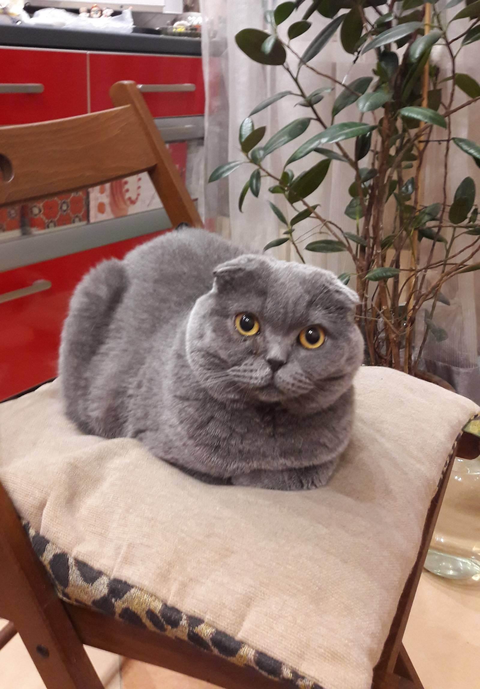 Вязка шотландских вислоухих кошек