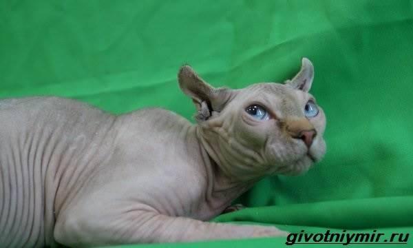 Кошки породы эльф: описание, характер, уход и кормление