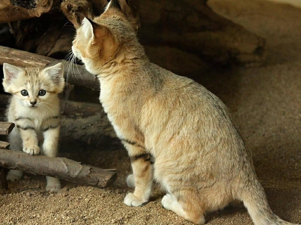 Семейство кошачьих – виды и представители хищных животных | список кошачьих с фото и описанием
