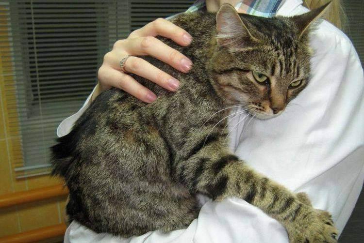 Судороги у кота, причины, симптомы и лечение: что делать, если у кошки сводит лапы и она дергается?