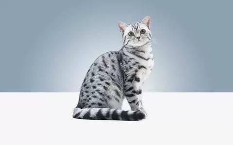 Что за порода кошки в рекламе вискас. порода кошек из рекламы «вискас. история успеха сердитой кошки - медицина для тебя