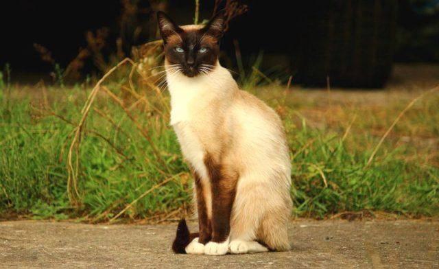 Сколько лет могут прожить сиамские кошки в домашних условиях: факторы