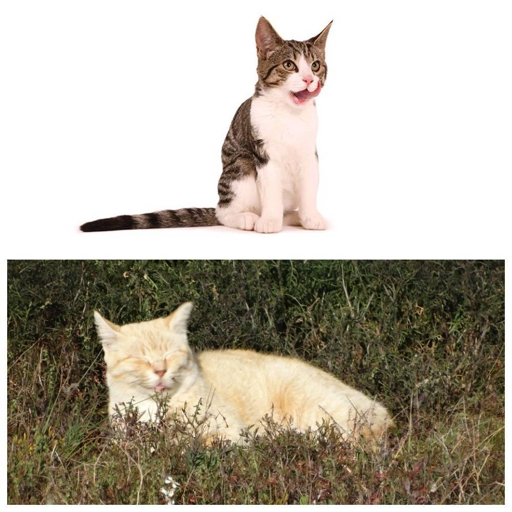 Валериана для кошек