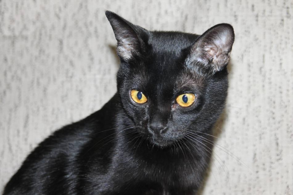 Бомбейская кошка: описание, история, содержание, уход, покупка