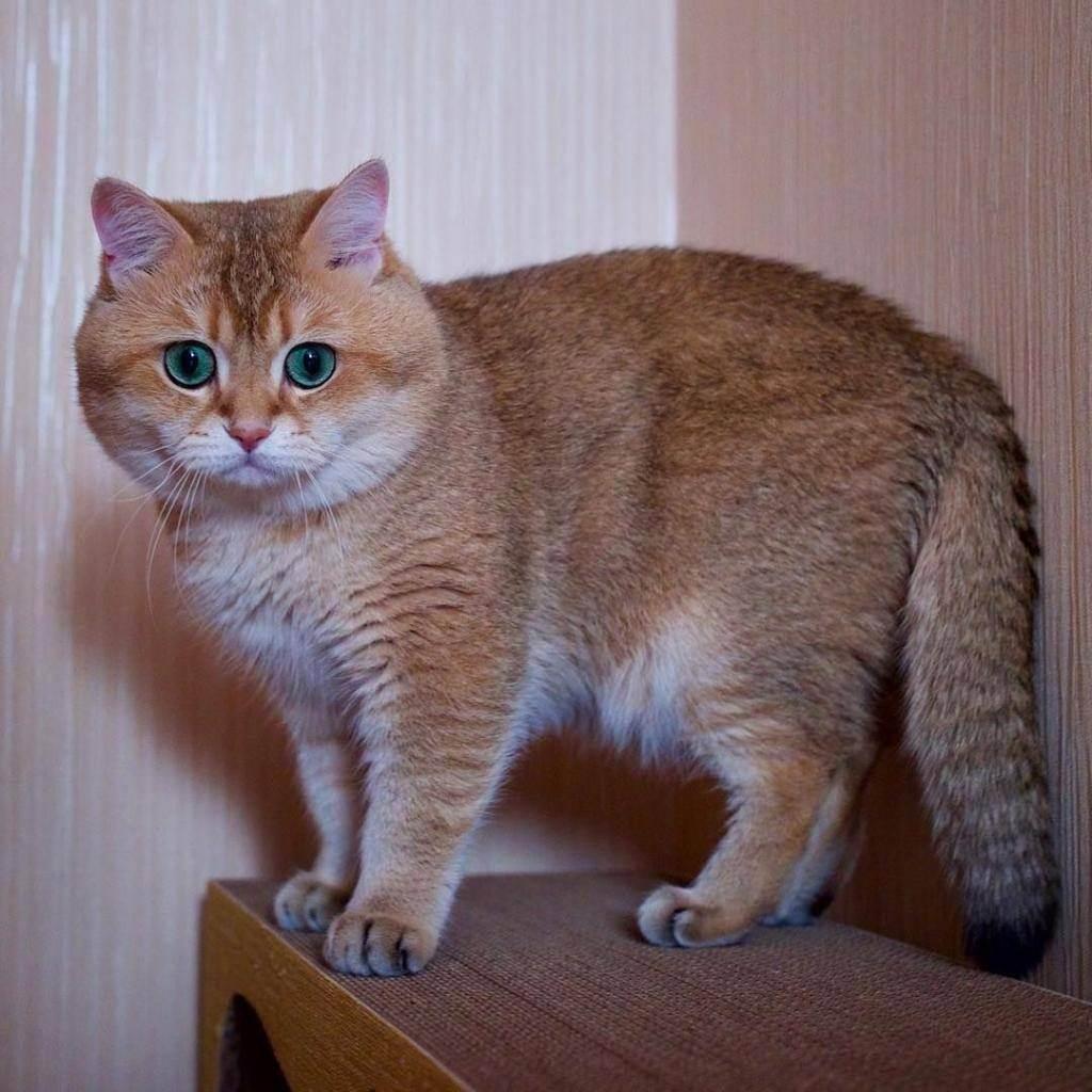 Чем выделяется порода скоттиш страйт: все о шотландских прямоухих кошках
