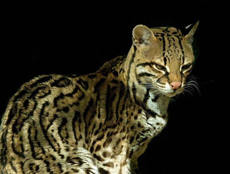 Ржавая кошка: обаятельная маленькая хищница