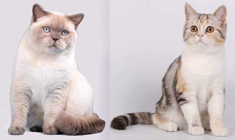 Описание породы, характер и повадки британской кошки, питание
