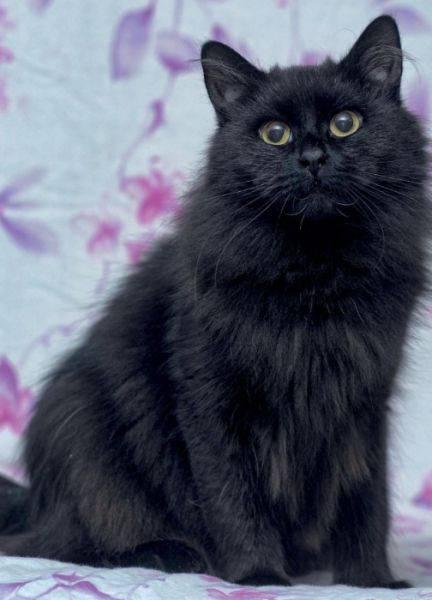 Йоркская шоколадная кошка: описание, характер, советы по содержанию и уходу, фото