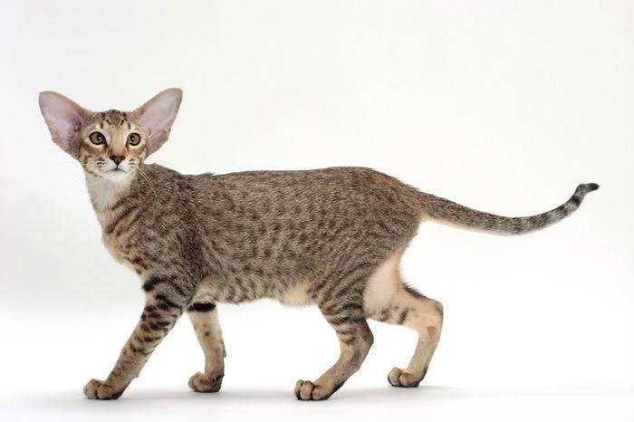 Кошки с короткими лапами   породы, фото коротколапых котов