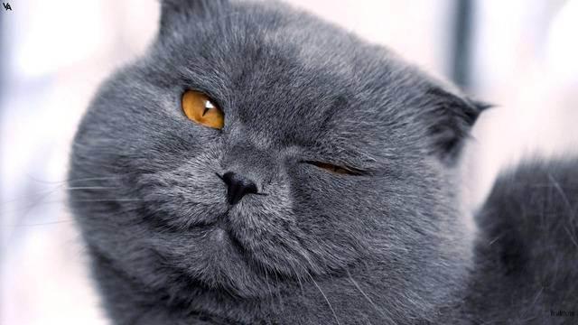 Мраморный — самый эффектный из рисунчатых окрасов британцев