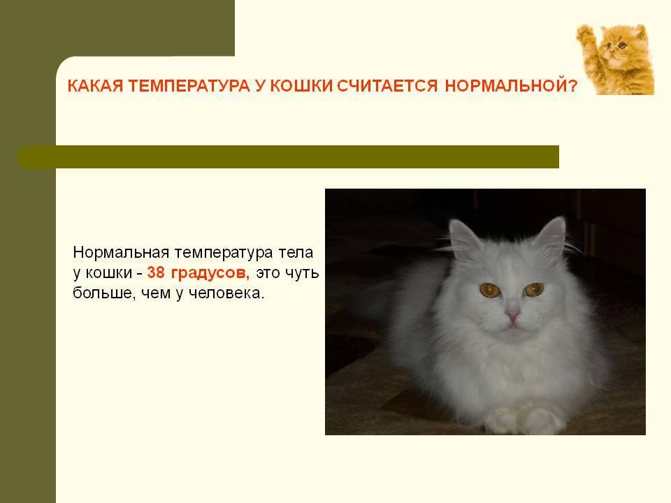 Нормальная температура у кошек