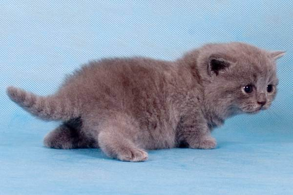 Породистый британец: как правильно выбрать котенка и не ошибиться?