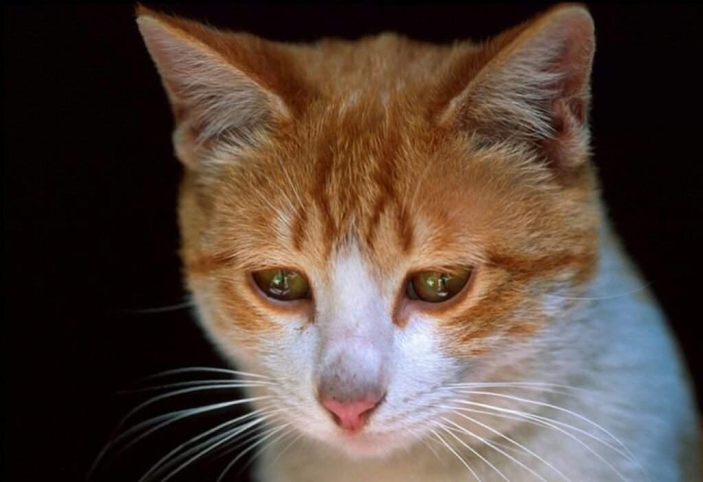 ᐉ кот или кошка плачет: умеют ли, могут ли, почему плачут и как - kcc-zoo.ru